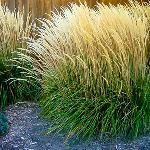 Karl Forester Feather Grass