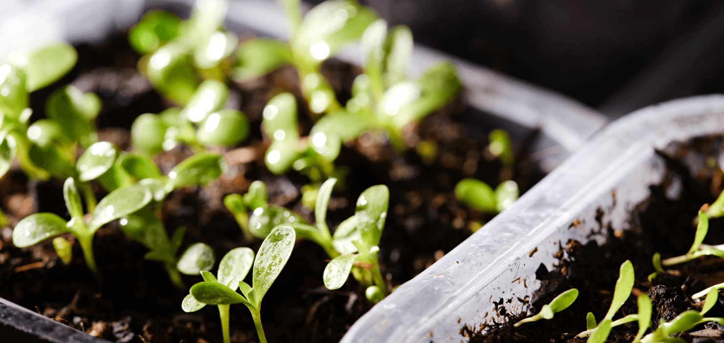 Get Gardening How to Start Seeds Indoors Sprouts Featured Image