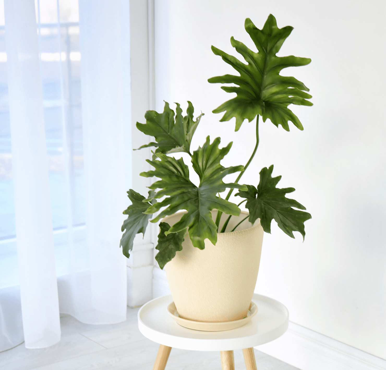 Plant Your Way to Cleaner Air in Your Home Philodendron Image